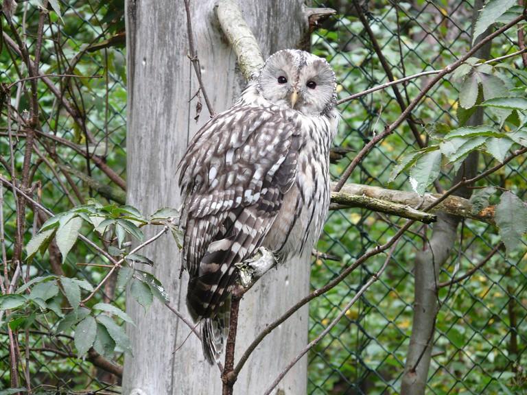 Ezo Fukuro (a sub-species of the Ural Owl) | ©Hans / Pixabay