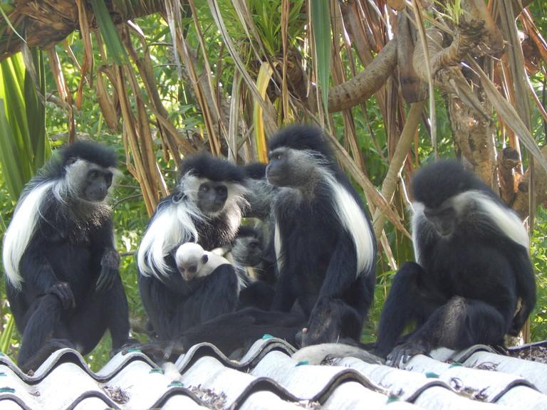 Colobus monkeys | Photo Courtesy of Colobus Conservation