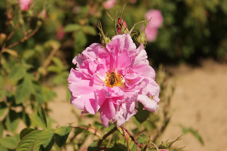Rosa Damascena | © Edal Anton Lefterov/WikiCommons