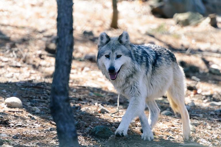 Gray Wolf   © Eric Kilby / Flickr
