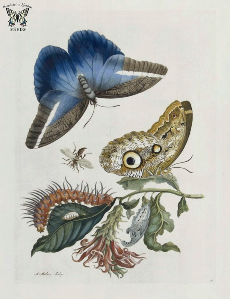 Maria Merian Butterfly Drawing | © Swallowtail Garden Seeds / Flickr