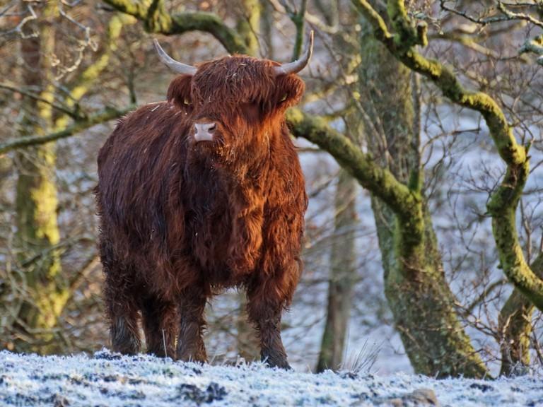 Highland Cow in Winter | © David Alexander Elder/Flickr