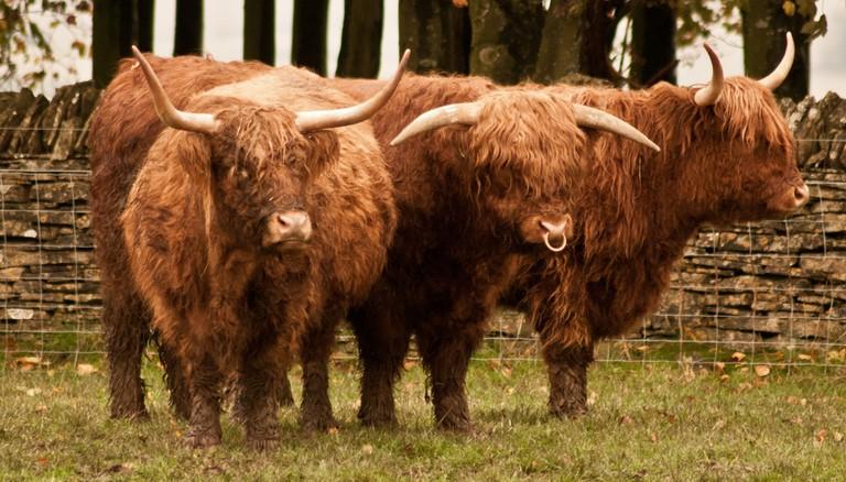 Highland Cows and Bull | © Steven Jones/Flickr
