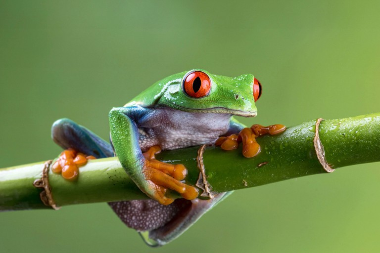 Red-eyed tree frog is a poster child creature of Costa Rica