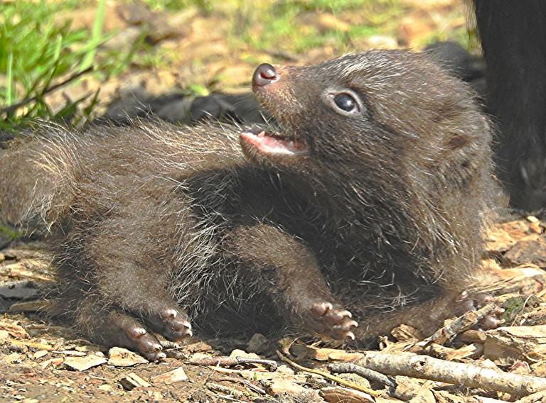 A raccoon dog pup | © Bob Silver / Flickr