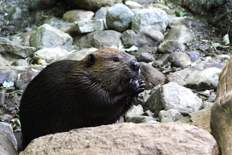 Canada's national animal: the beaver   © Rosana Prada / Flickr