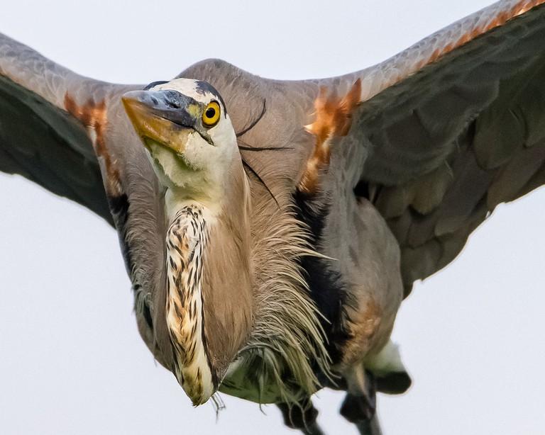 Great Blue Heron   © Don Miller / Flickr