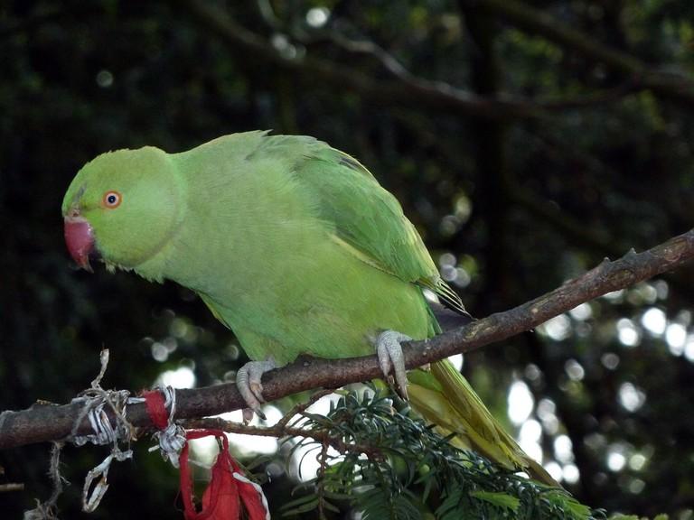 Vondelpark has a large population of parakeets