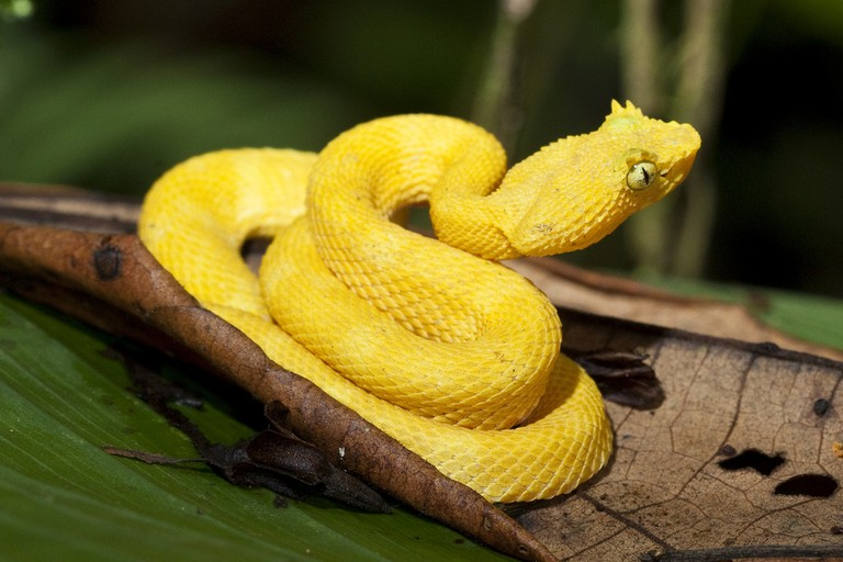 An intense pop of color on this eyelash viper