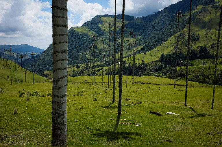 The world's tallest palm trees are found in Cocora Valley | ©Dustin Ground Flickr