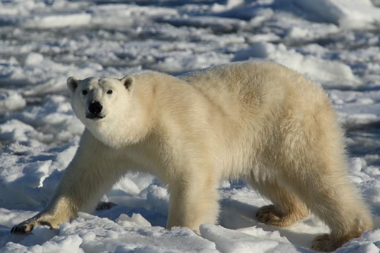 Polar bears in Canada   © Emma Bishop / Flickr