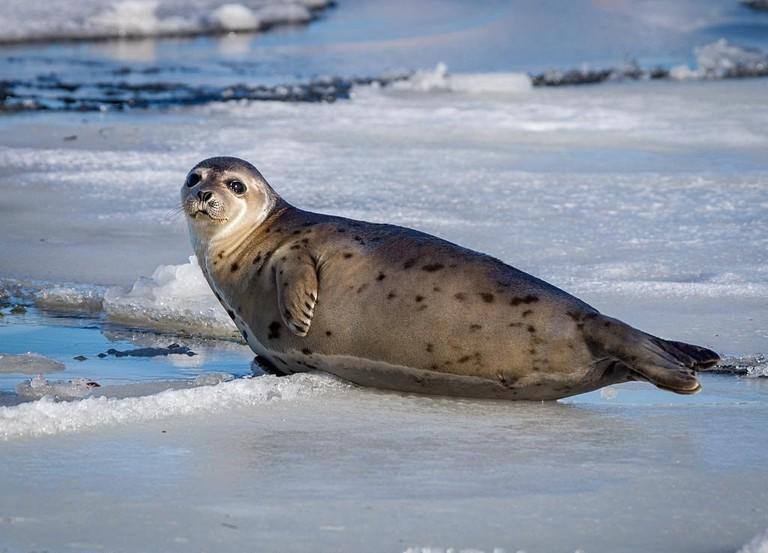 Harp Seal in Newfoundland and Labrador   © Gene Herzberg / Flickr