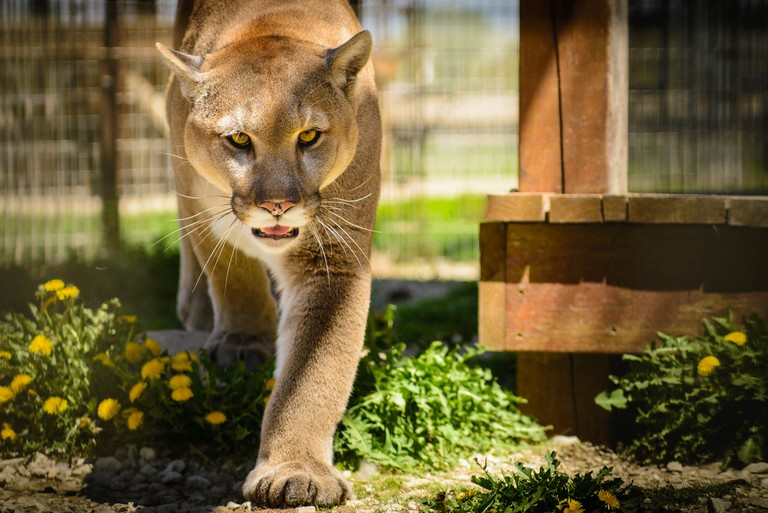 Cougar, or mountain lion   © Bob Haarmans / Flickr