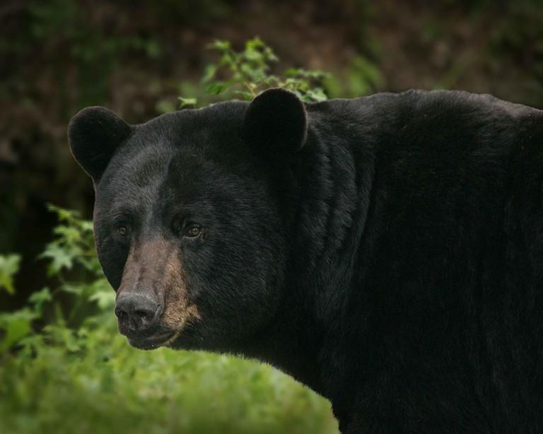 Black Bear   © Public Domain Images / Pixabay