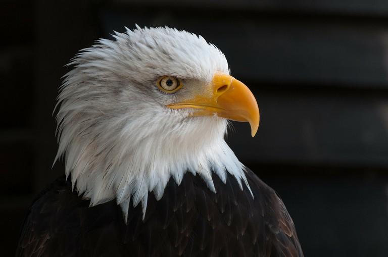 Bald Eagle   © Christoph / Pixabay