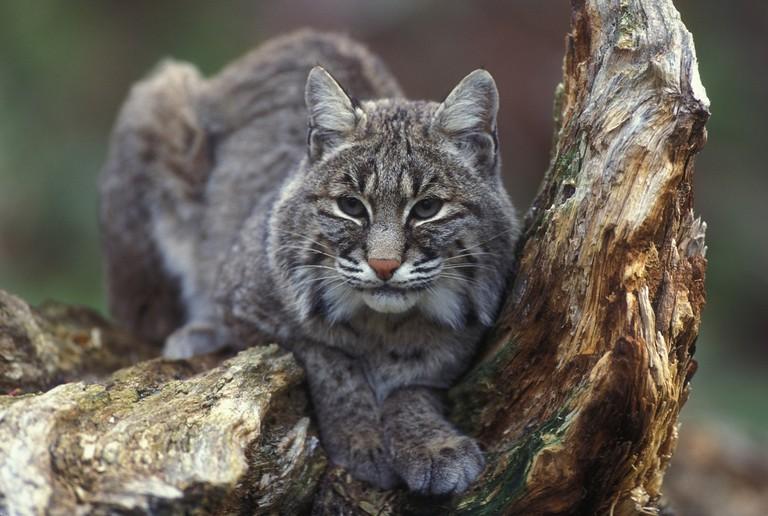 Bobcat   © skeeze / Pixabay