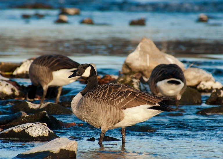 Canada Goose   © miniformat65 / Pixabay