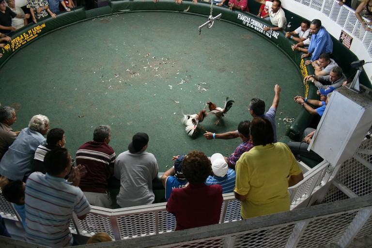 Cock fight in Puerto Rico   © Usama Hamid/ Flickr