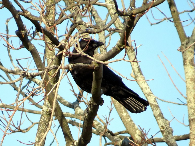 Crow on Leafless Branch