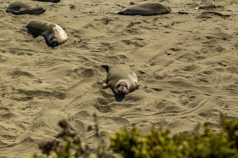 Piedras Blancas Elephant Seal Rookery|©adifferentbrian/Flickr