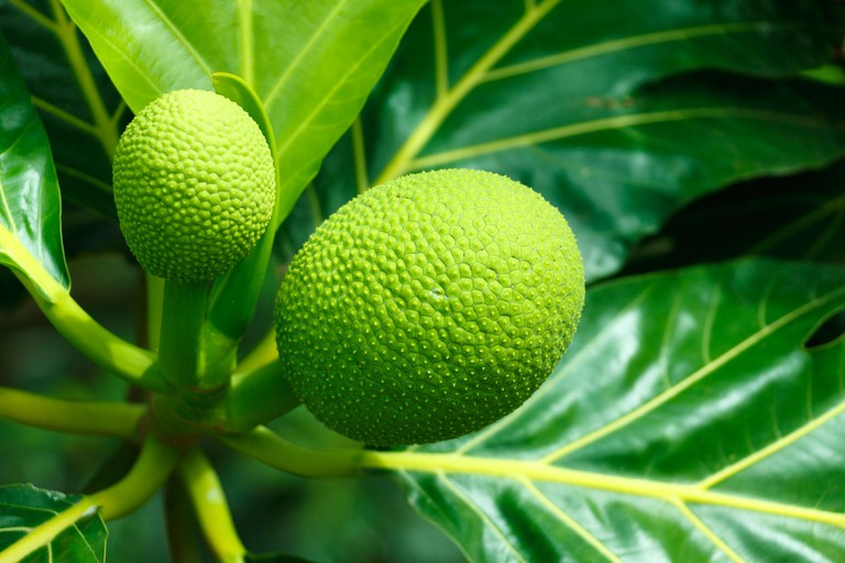 Breadfruit is abundant in Puerto Rico in the summer months