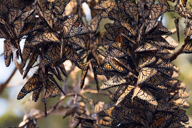 Goleta Monarch Butterfly Grove|©USFWSmidwest/Flickr