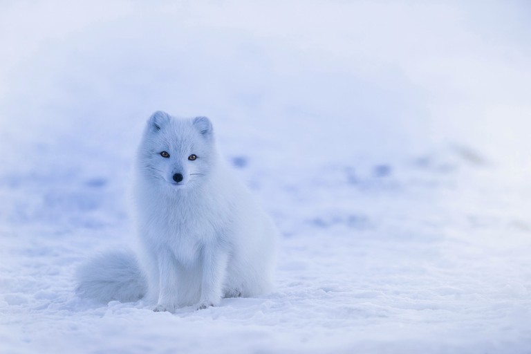 Arctic fox   © tpsdave / Pixabay