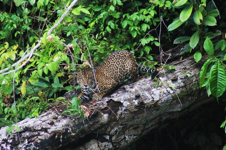 An otorongo (jaguar) resting on a fallen tree at cocha Salvador. | Courtesy of One Earth Peru
