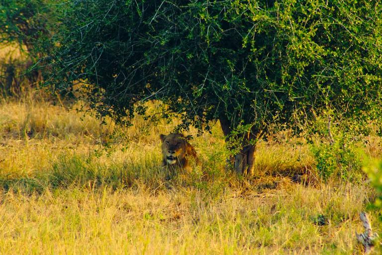 A lion in the Kruger park
