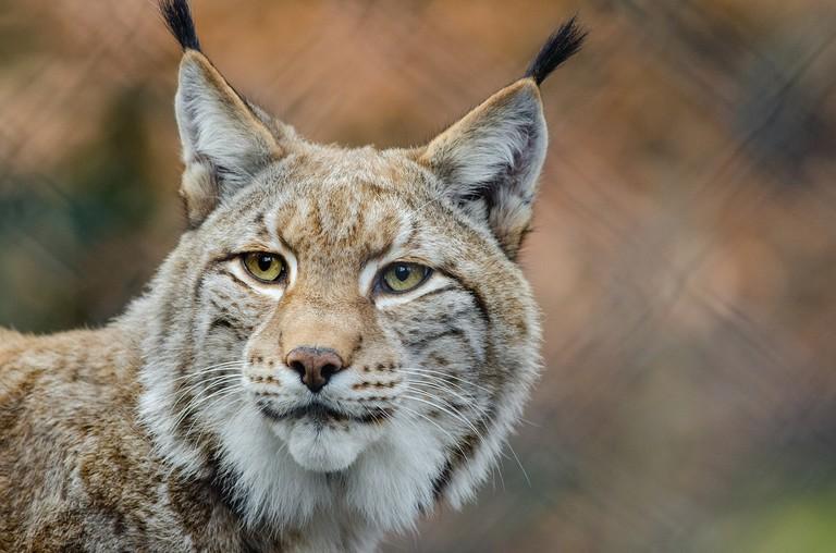 Lynx   © skeeze / Pixabay