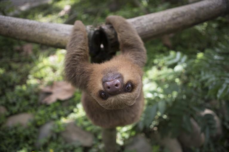 A baby sloth named Mochila|©Manuel Orbegozo/WWF Perú