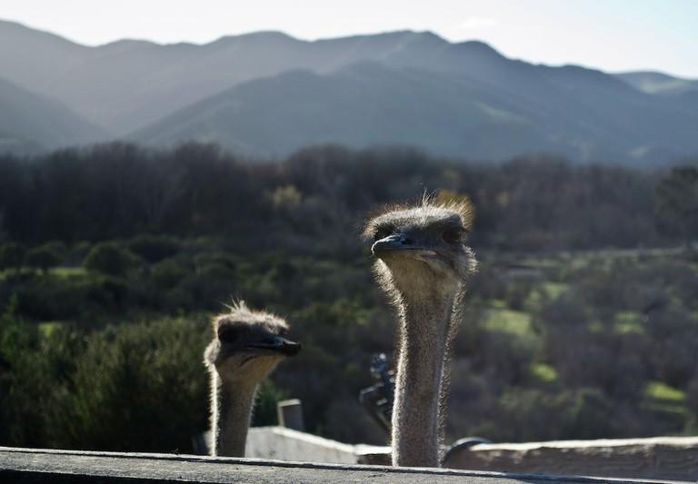 Ostrich Farm|©ars5017/Flickr