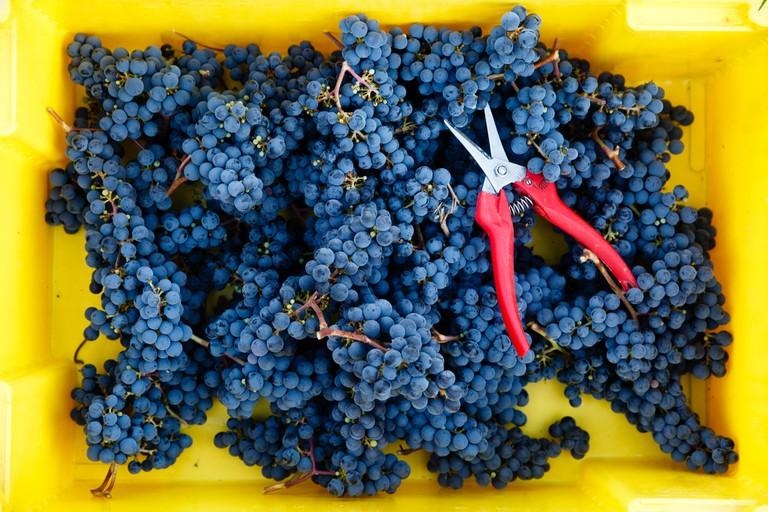Beautiful Cabernet Franc! | © Hanzell Vineyards/Flickr