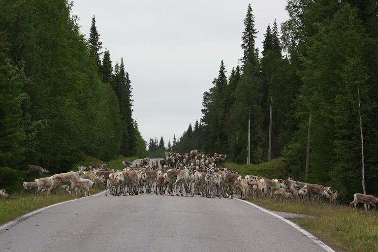 Herds of reindeer can block the roads in Lapland / Pixabay
