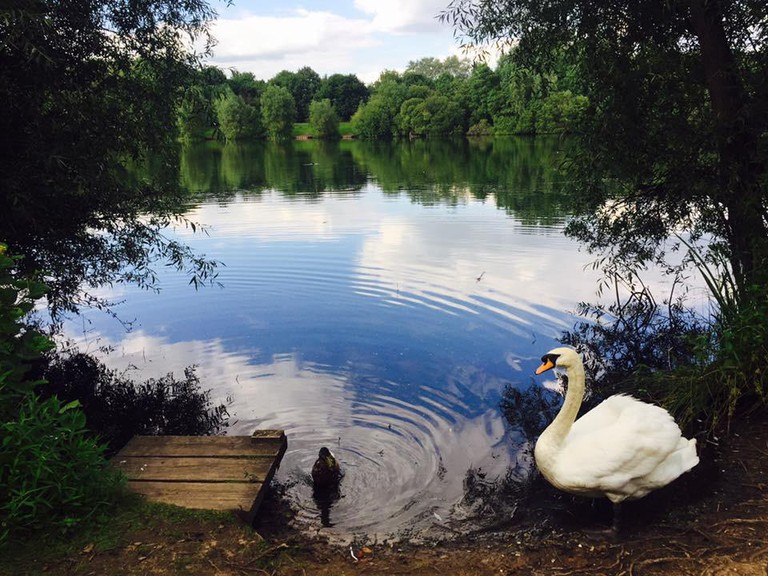 Swan at Chorlton Water Park, Manchester
