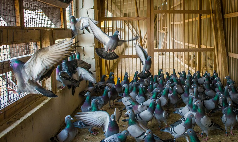 Homing pigeons inside a dovecote © Napocska / Shutterstock