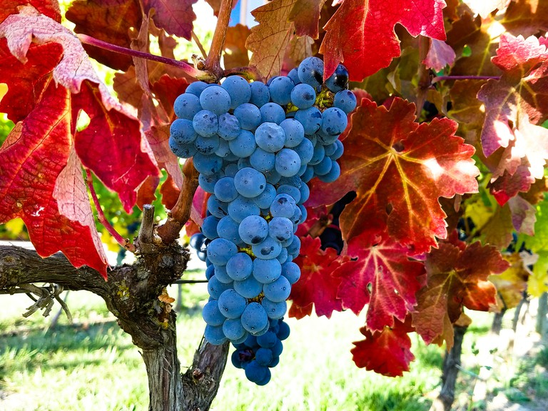 Rioja Wine Grapes Ready for Harvest in Rioja Spain | © David Maki/Shutterstock