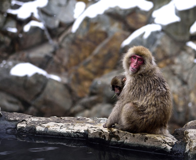 Japanese macaques in Jigokudani Yaen-koen in Nagano