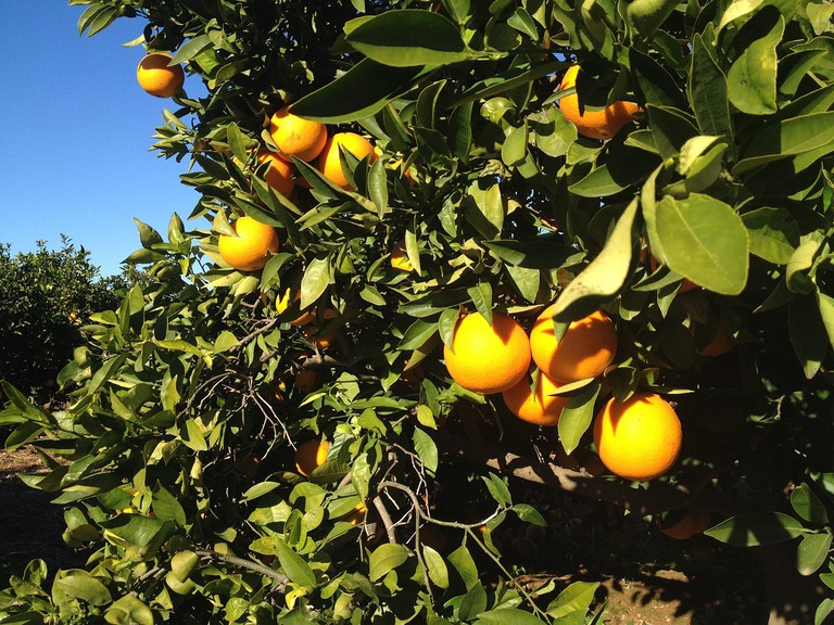 Valencia's famous orange groves
