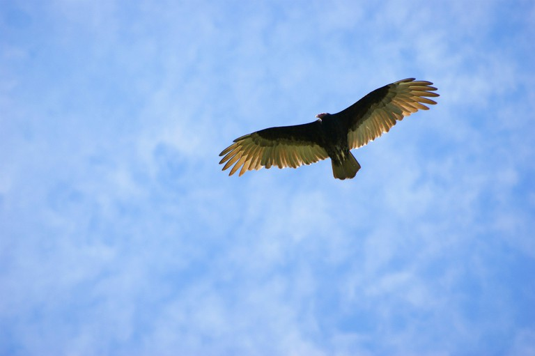 A vulture overhead in the Chaco
