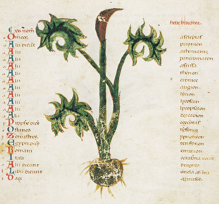 An illustration in the Herbarium, from a manuscript dating from the 13th century,
