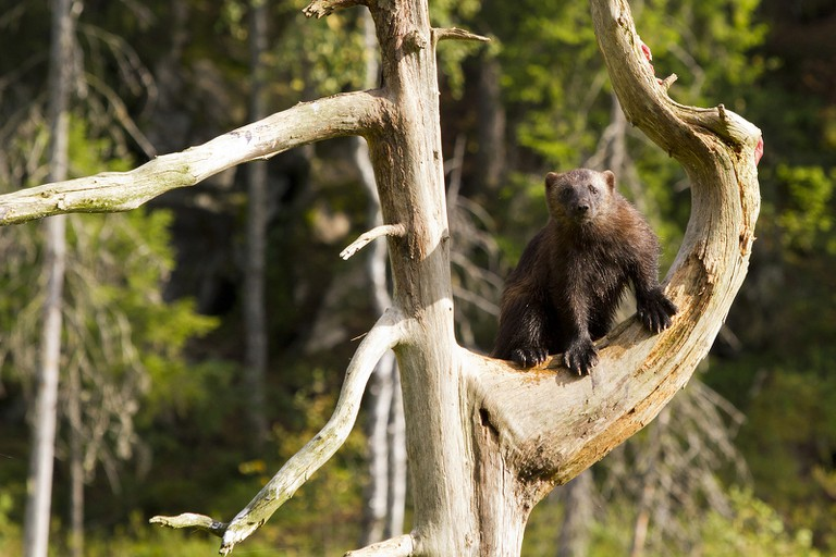 A wolverine in a tree | © Juha Soininen / freeimages.com