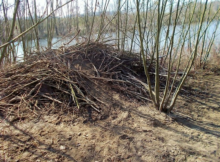 A beaver lodge near Deventer