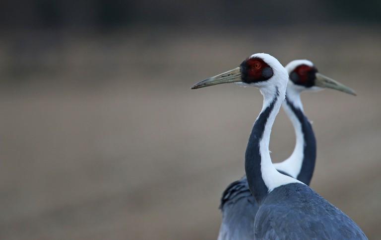 White-naped cranes | © Ian Davies / Flickr