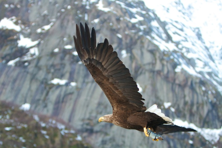 White-tailed eagle at Lofoten | © Paul Williams / Flickr