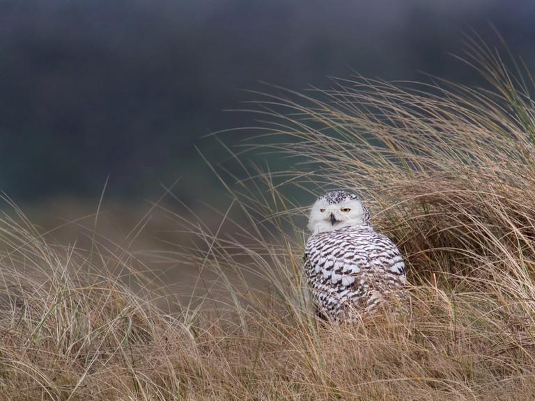 Snowy Owls roast in Vlieland's dunes | © Frank Vassen / Flickr