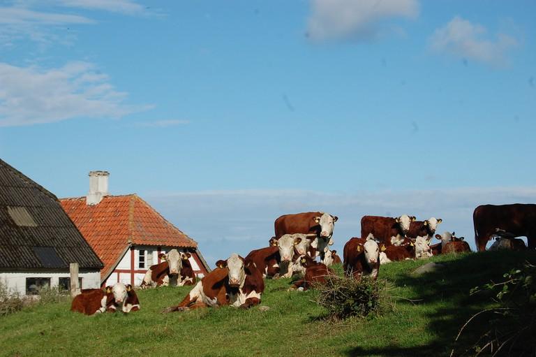 Free-range cows on Bornholm © distelfliege