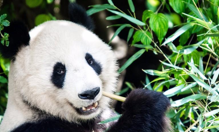 Giant Panda Eating | © Soren Wolf / Flickr