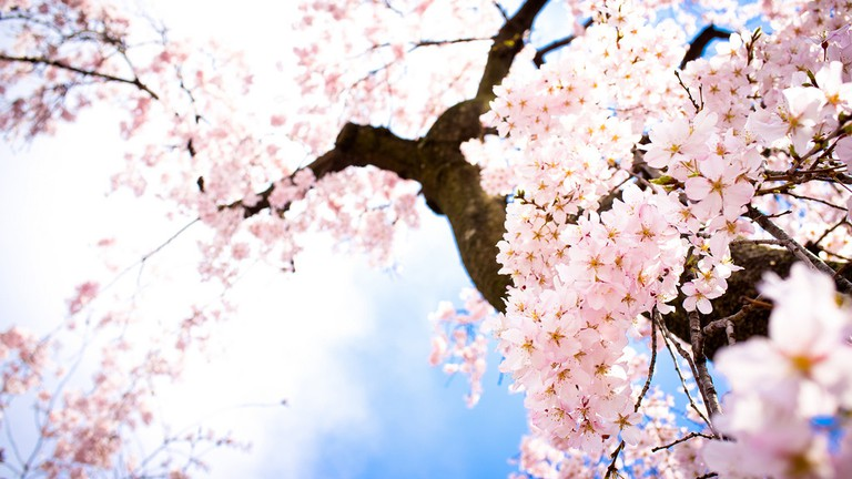 Sakura trees in spring | © Kou Art/Flickr