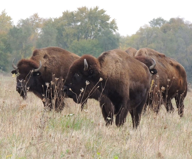 Bison on the Midewin National Tallgrass Prairie | © U.S. Department of Agriculture/Flickr
